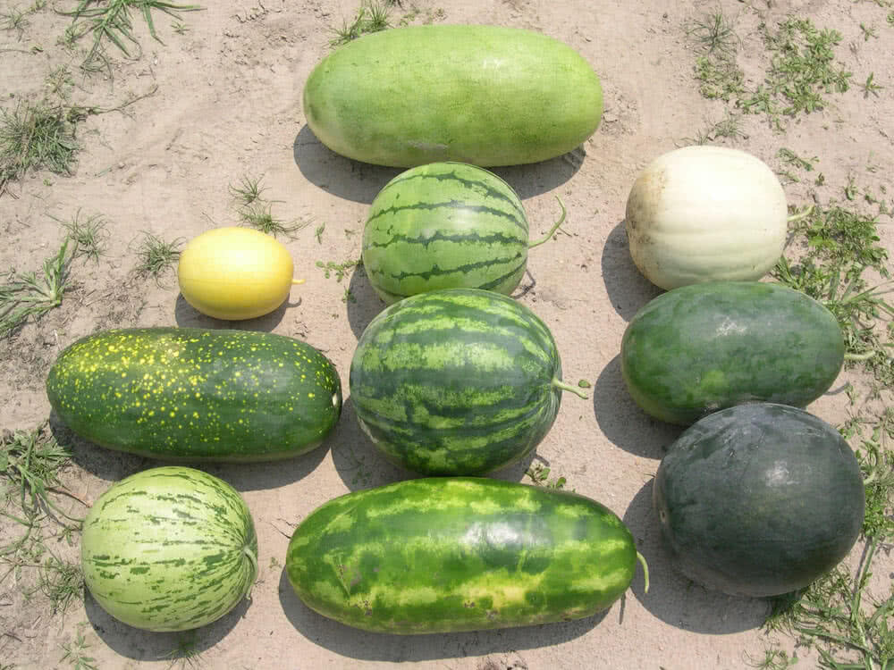 types of watermelon