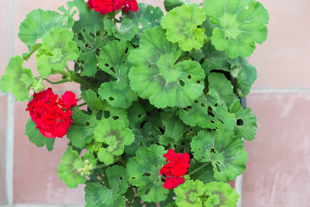 damaged leaves of geranium plant