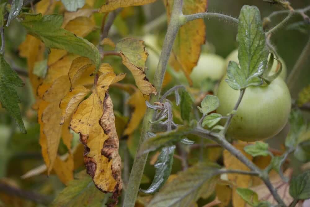 tomato plants turning yellow