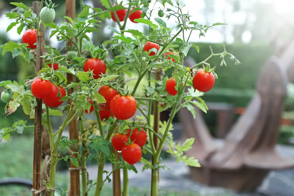 Growing cherry tomatoes varieties of cherry tomato for How to grow cherry tomatoes from seeds