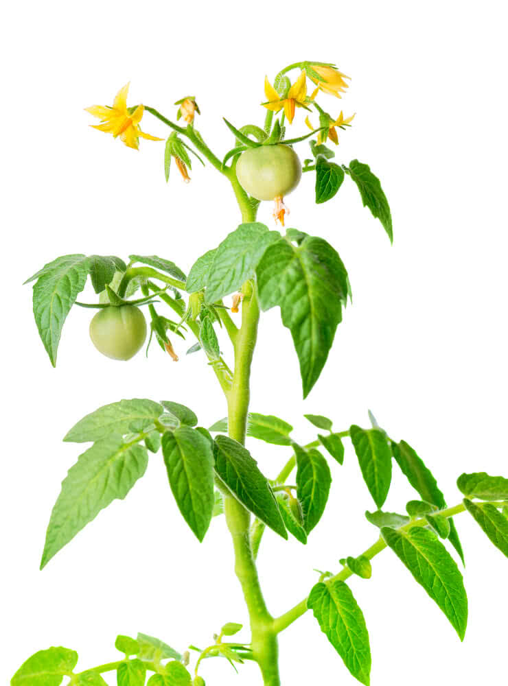 cherry tomato fruit and flowers
