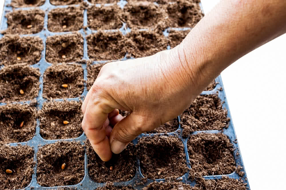 Seed sowing on seeding tray