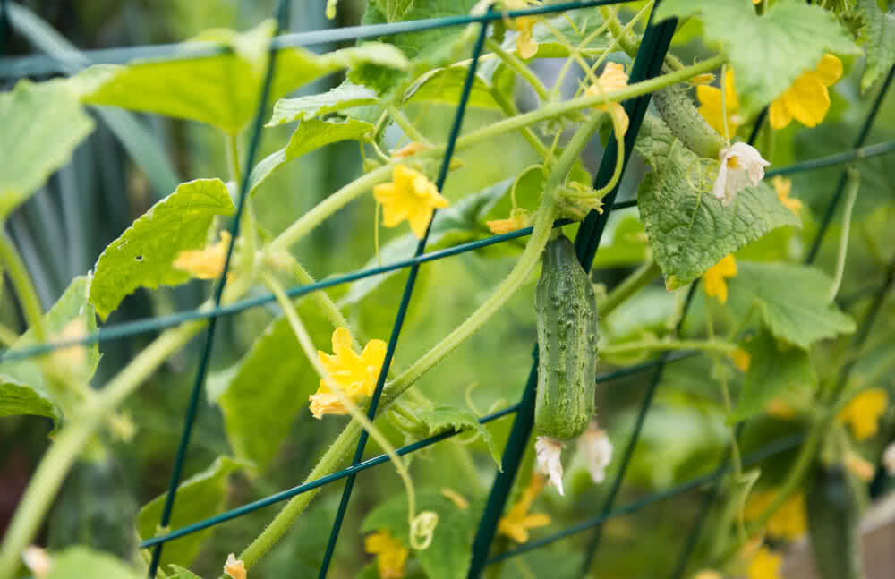How to Create a Cucumber Flower forecast