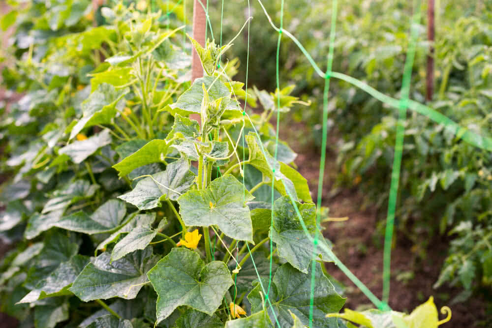 cucumbers growing on net support