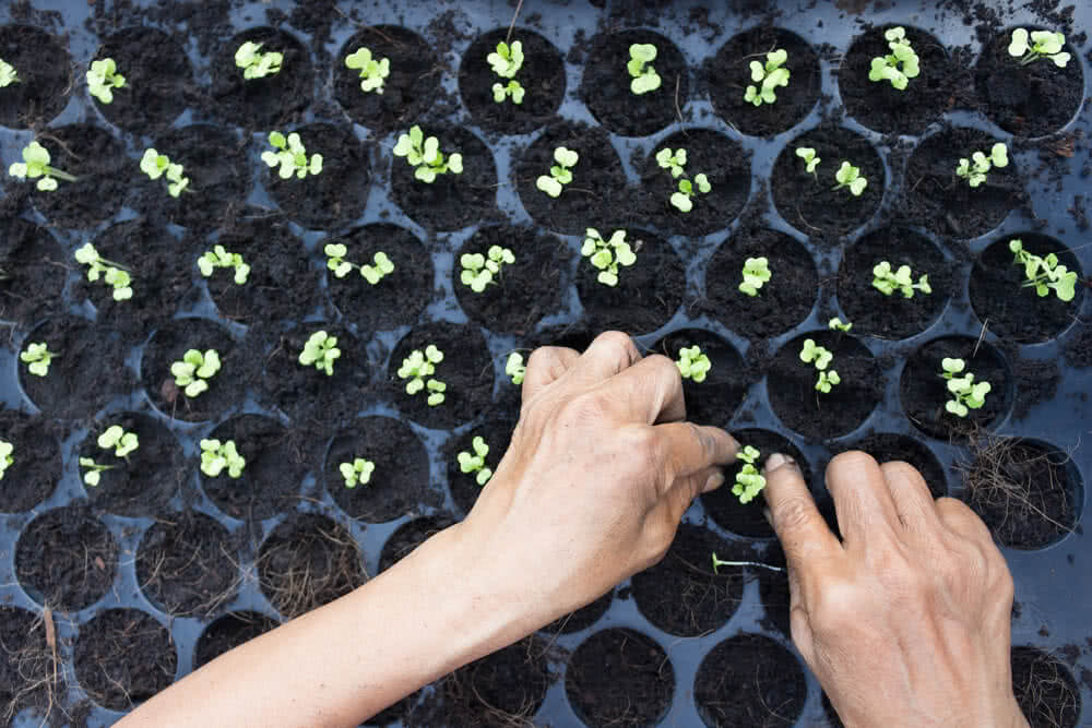 Female hand putting chinese kale in plastic planting tray