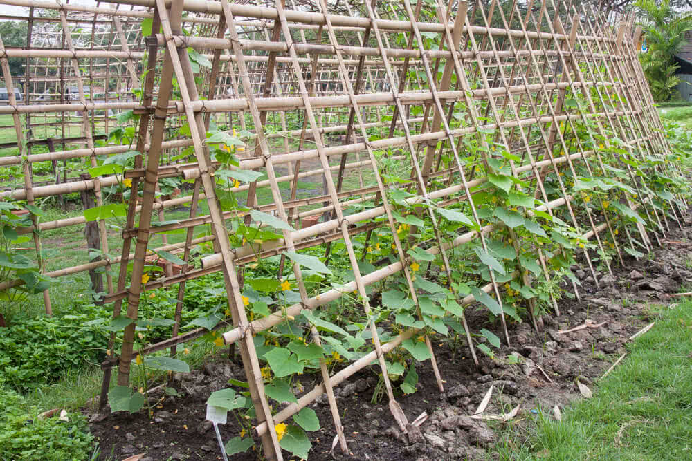 Vegetables That Require Trellis Support Trellis