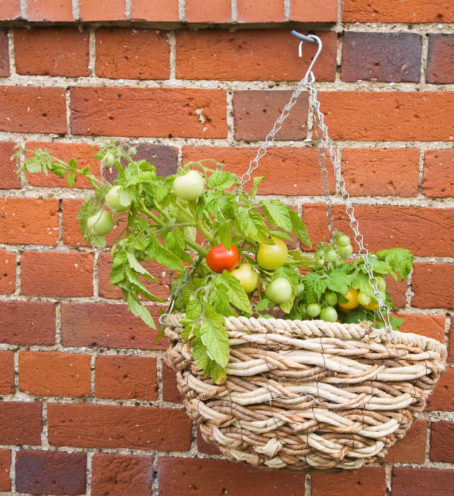 tomato plant in hanging basket