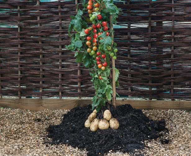 growing tomatoes & potatoes in pot