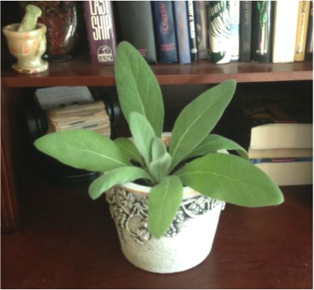 Potted lambs ear in the house