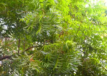fast growing trees in india