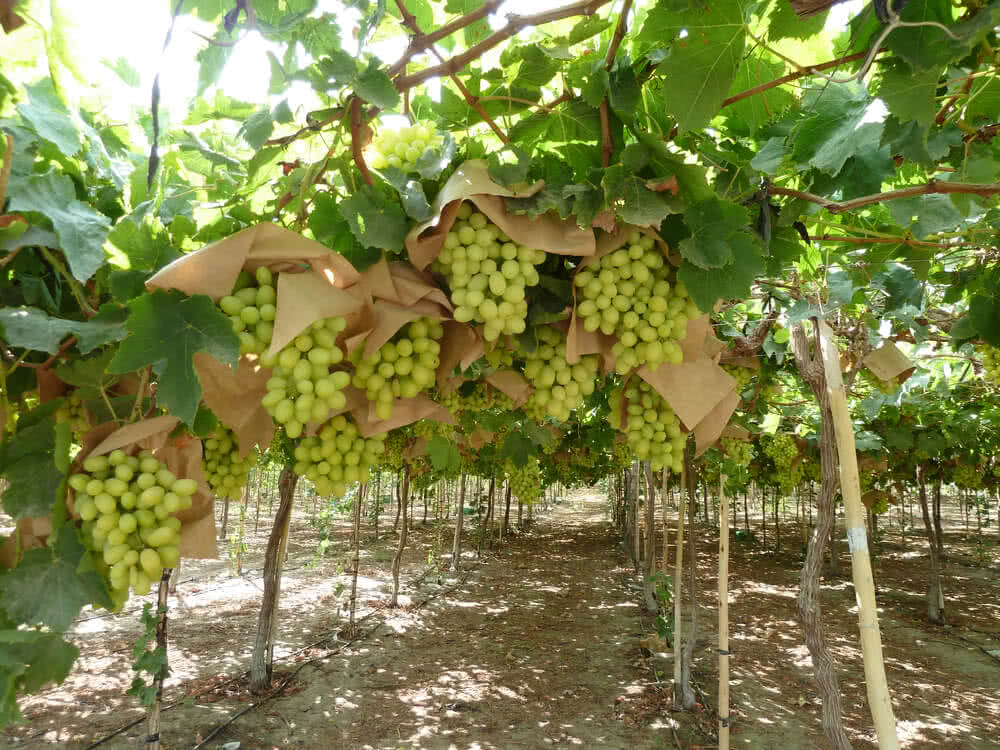mesh covering for grapes
