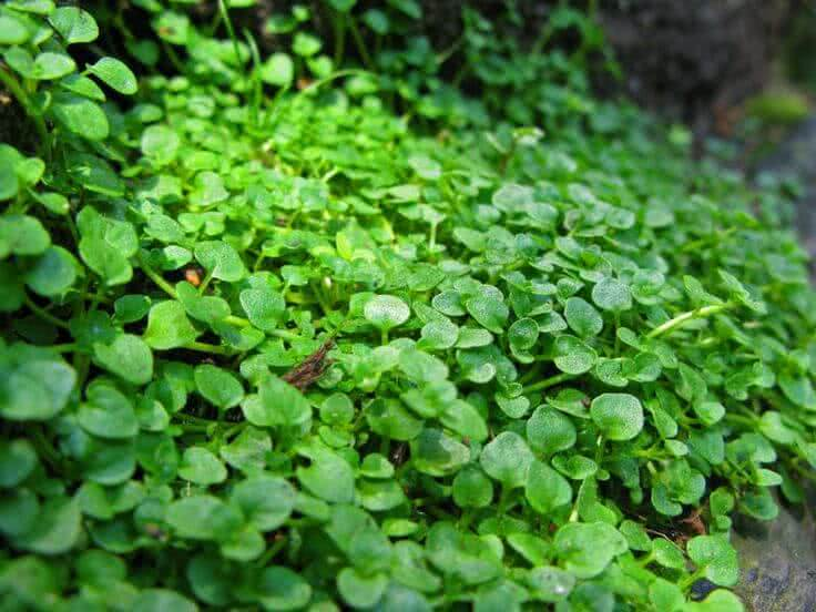 7 Beautiful Ground Cover Plants For Walkway