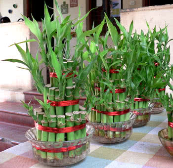 Bamboo Plant Maintenance And Care Lucky Bamboo Plant Care