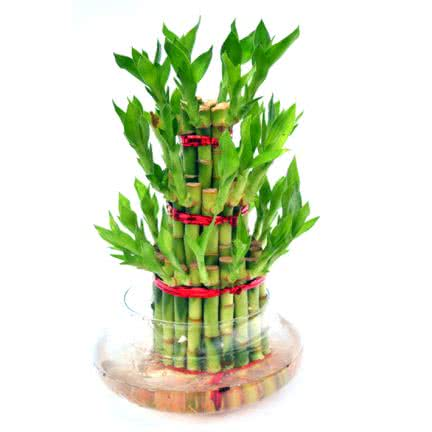 Bamboo plant with stalks tied with ribbon wire