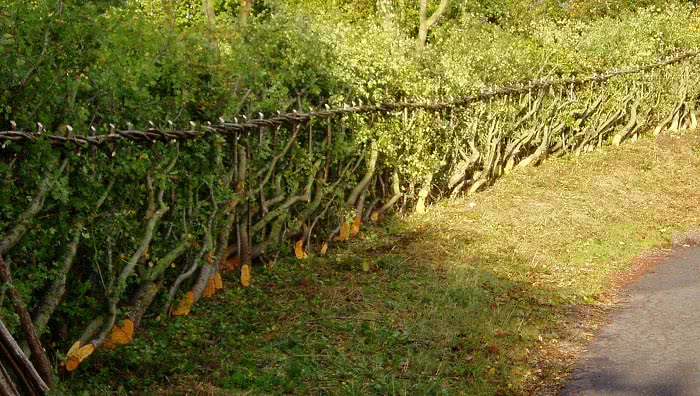 hedge developed into living fence
