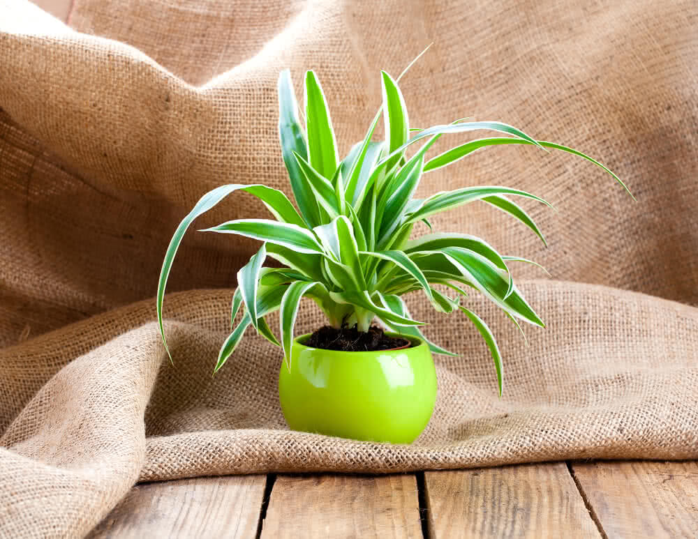 top 10 low maintenance plants easy care plants desk plants. Black Bedroom Furniture Sets. Home Design Ideas