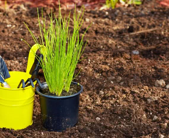 growing chives in pots