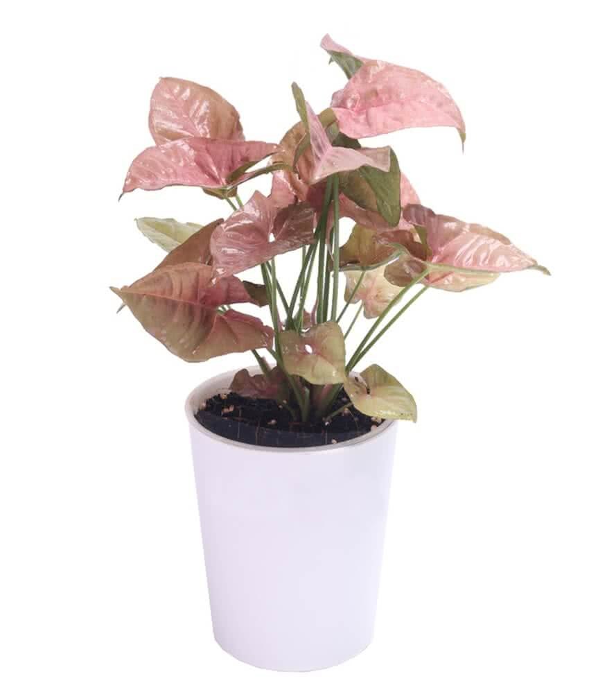 Gamlaa-Syngonium-Pink-in-Iris-Aqua-Comfort-White-Pot-Self-Watering Variegated Arrowhead Vine House Plant on snake plant house plant, grow a sweet potato vine plant, arrowhead plant care, low light green leaves vine plant, marble queen house plant, pink butterfly flower plant, lantana house plant, miniature rose house plant, bromeliads house plant, arrowhead water plant, kentia palm house plant, philodendron plant, names of colorful house plant, white arrowhead plant, lily of the valley house plant, jerusalem cherry house plant, arum lily house plant, exotic tropical house plant, arrowhead sagittaria latifolia plant, wax vine plant,