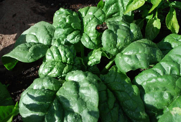 Types of spinach: Regiment