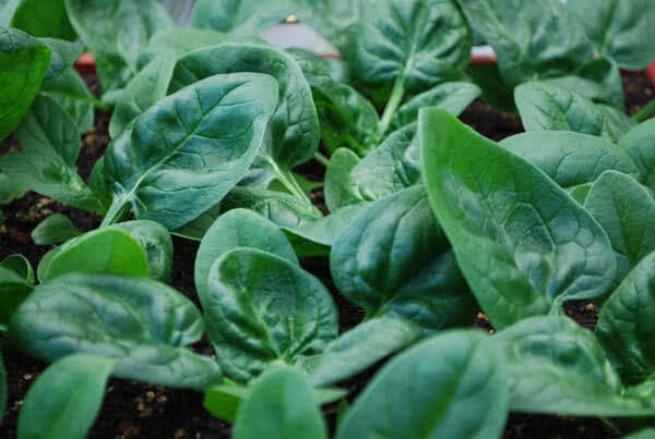 Types of spinach: Catalina