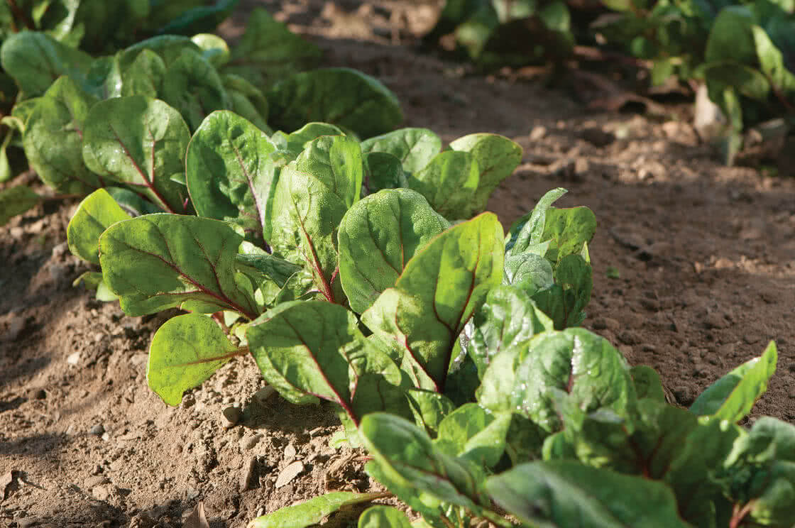 Types of spinach: Red Carnival