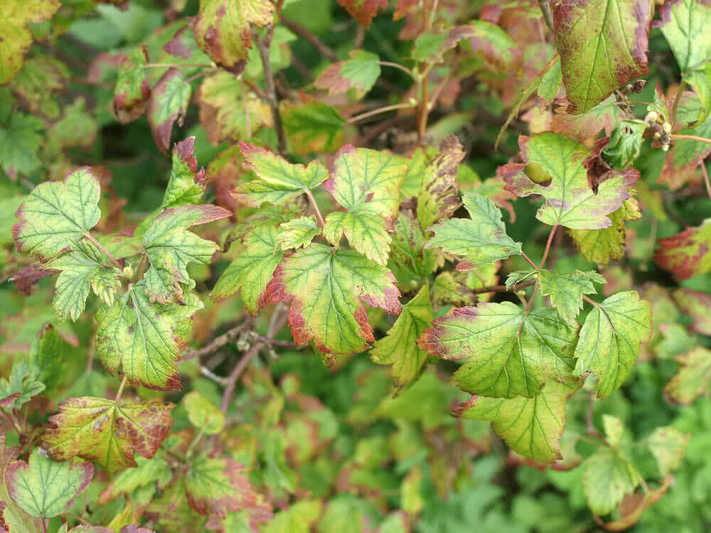 iron deficiency in plants