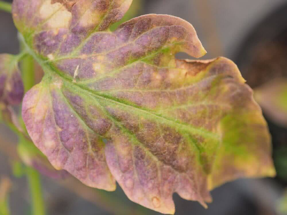 potassium deficiency in plants