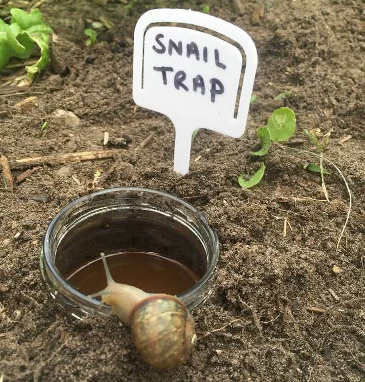 beer traps for slugs and snails
