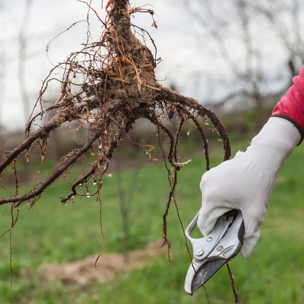 pruning roots before transplanting