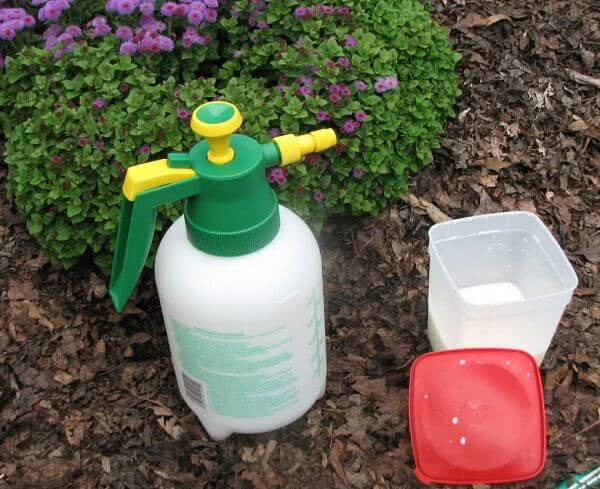 milk spray for powdery mildew