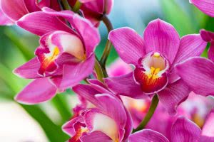 orchid species