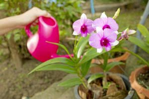orchid plant water requirement