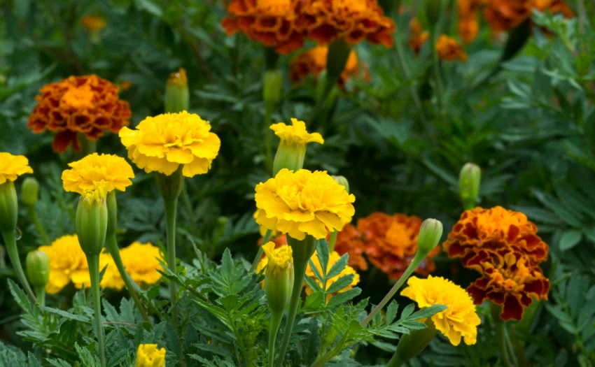 Welcome to the World of Marigolds! - Uses of Genda Flowers ...