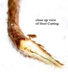 root cutting, heel cutting
