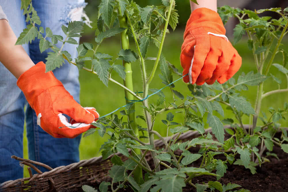 Plant supports: Tomato stakes