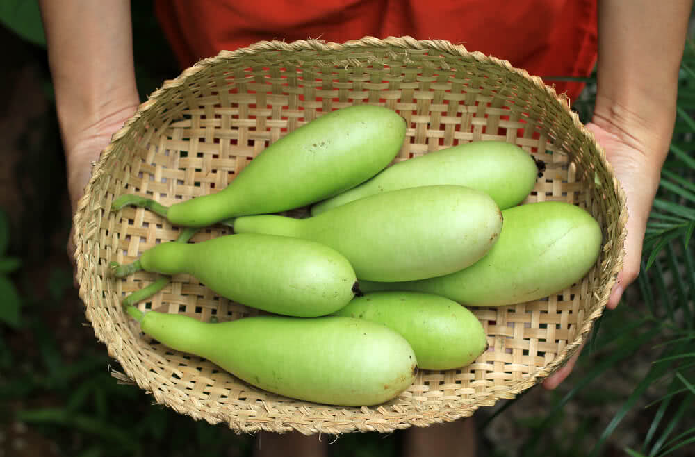 harvested bottle gourd or lauki