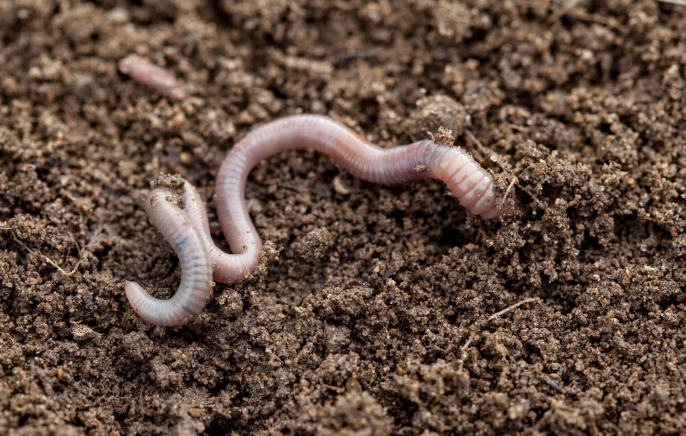 Earthworm in soil to fertilize it
