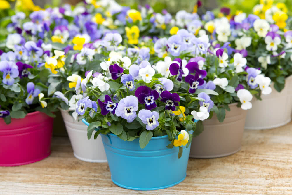 pansy flowers that grow in shade