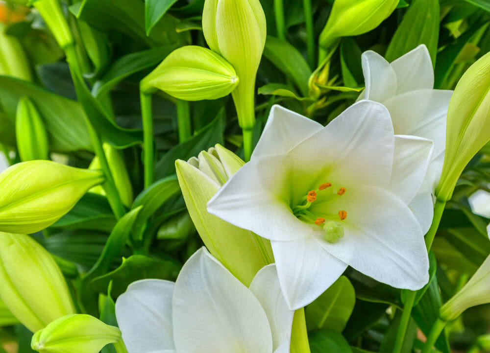 lily flower - flowering shade plants