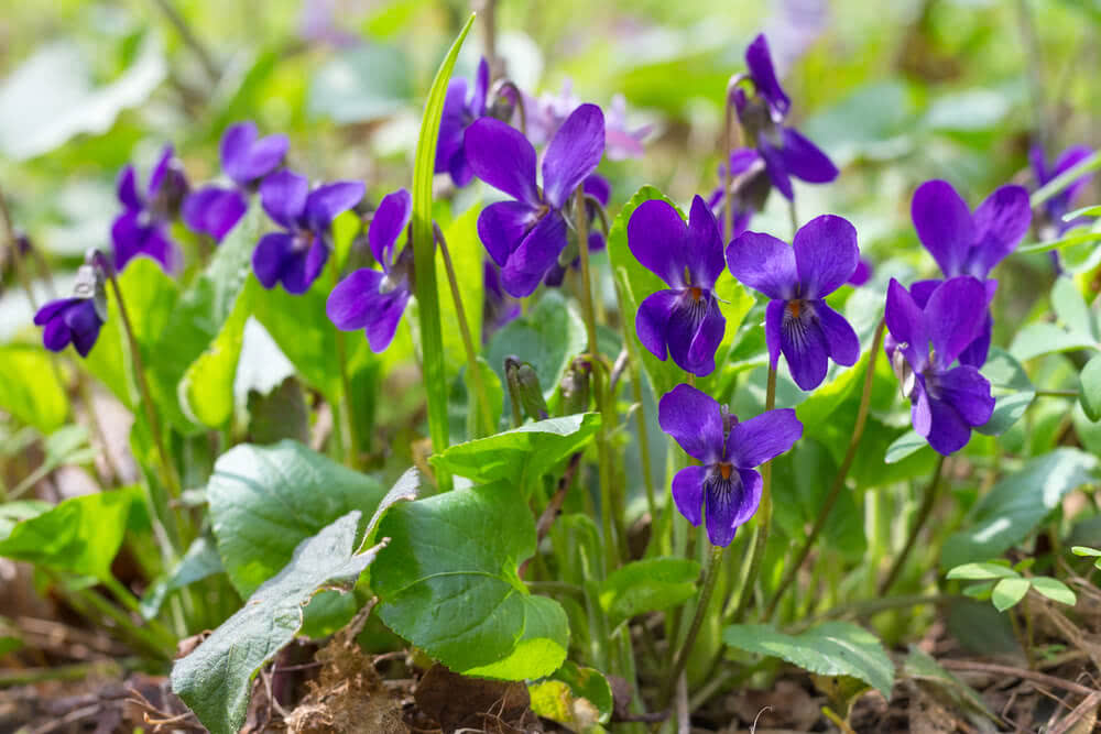 growing african violets under tree