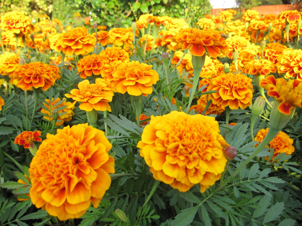 hybrid plant of african marigold and french marigold flower