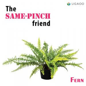 fern plant or indoor fern