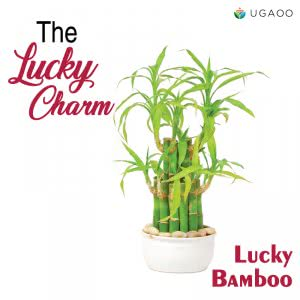 Lucky Bamboo Plant for Gifting