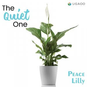 peace lily flower plant