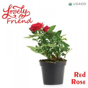 Red Rose Plant as Gift