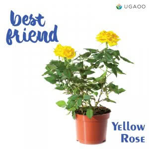 Yellow potted rose plant