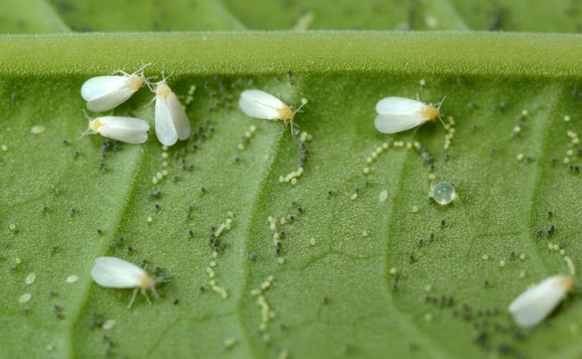 how to get rid of whiteflies on plants