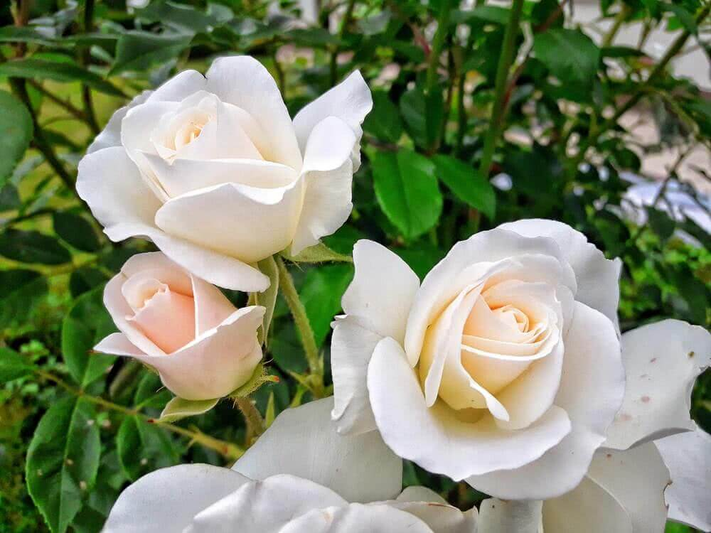 White flowering rose