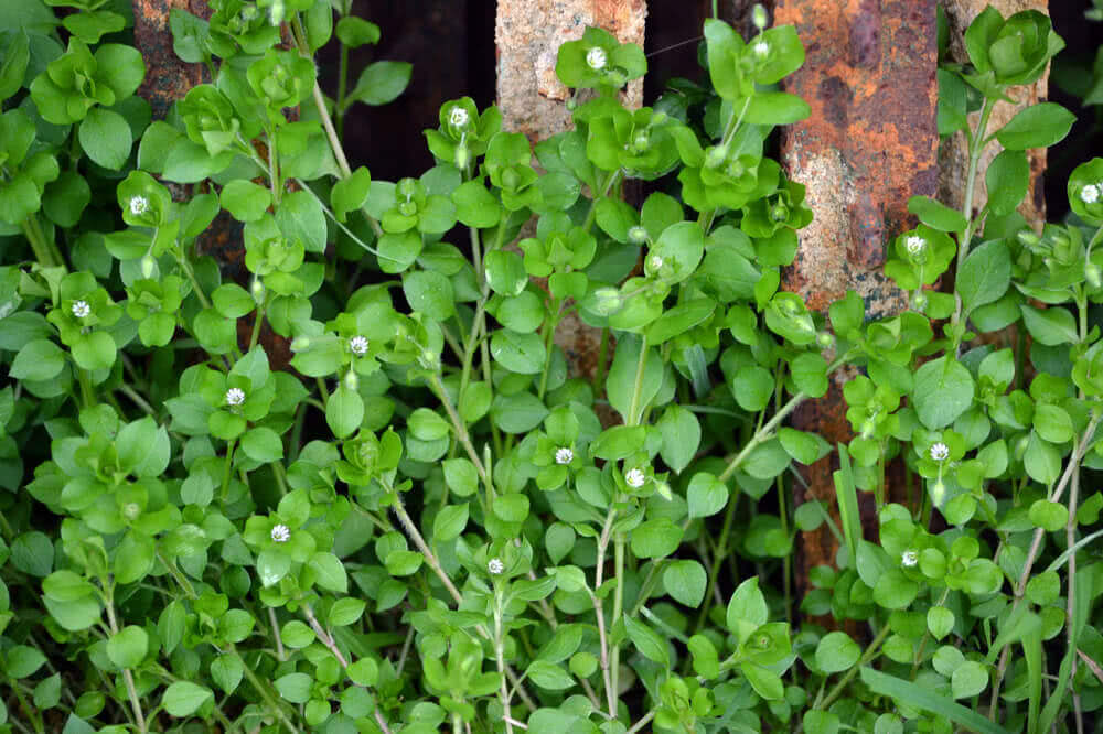 Blooming plant of chickweed