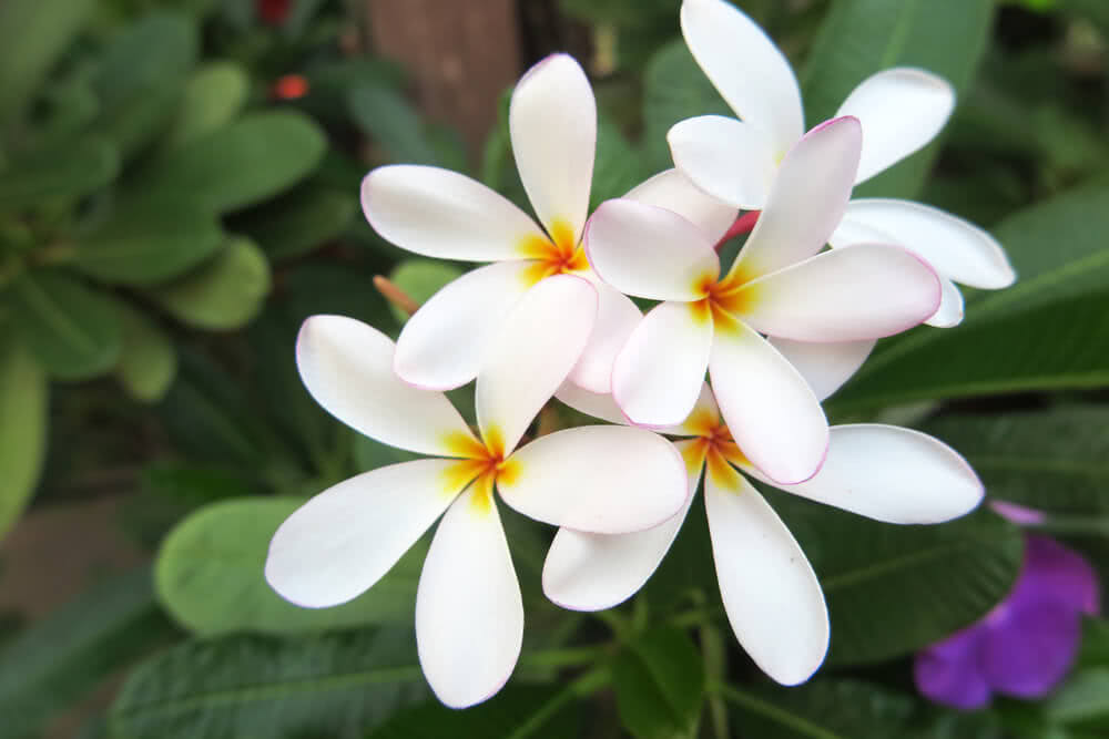 small garden trees - frangipani tree